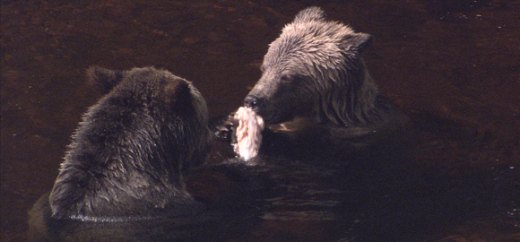 Bear Sharing Fish Close-up